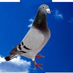 pigeon Royal-Lad