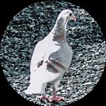 Remember Me pigeon