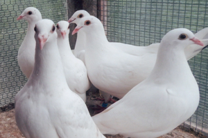 Young White Emperor pigeons