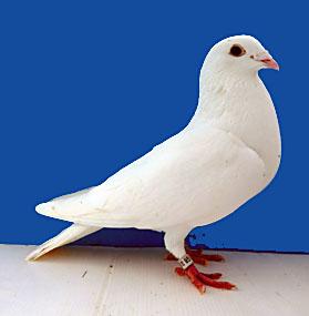 Little White Cock