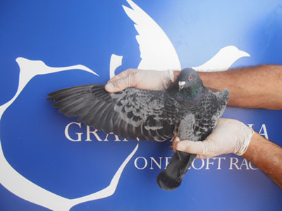 Wild Eyes scored 6 x 1st UK, 2 x 2nd UK, 2 x 1st Open, 2 x 2nd Open, 3 x 3rd Open in first 12 races (Photo courtesy Gran Canaria OLR)