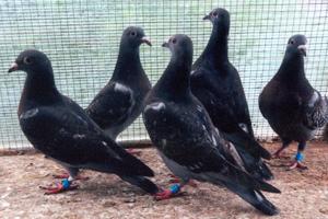 Young Busschaert pigeons